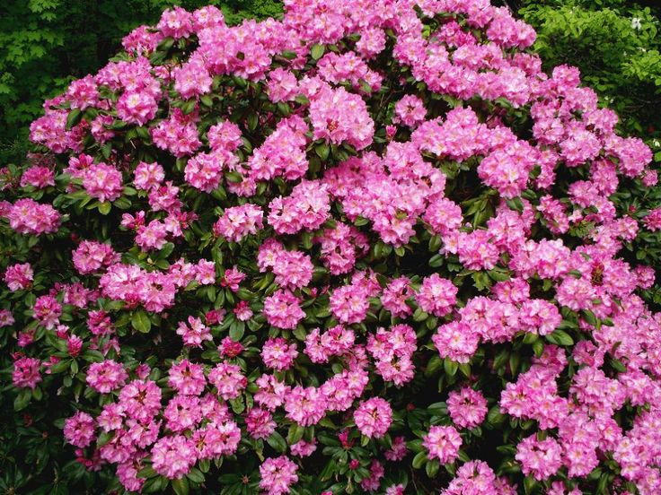 17 best flowering bush shade images on pinterest flowering azalea bush good for shaded areas google image result for httpwww mightylinksfo