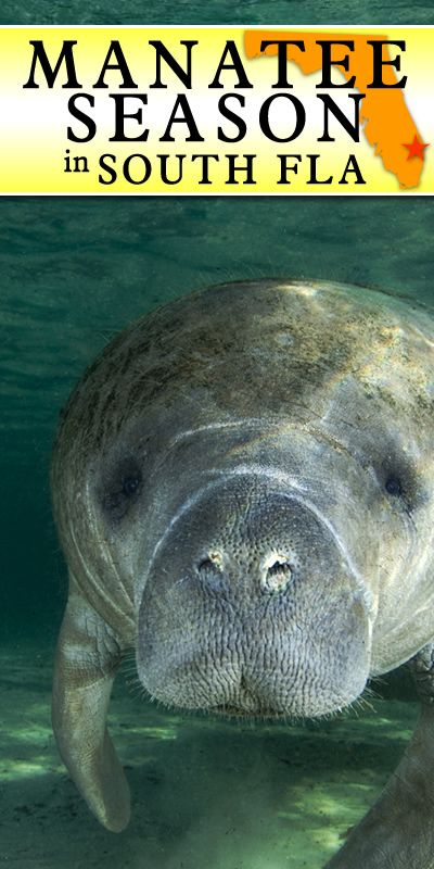 "DELRAY BEACH  to JUPITER...MANATEE SEASON...ENJOY SAFE BOATING - Manatee season is in full effect in South Florida.  This campaign is called ""Operation Mermaid"".  During this period, a tremendous percentage of manatees swim to South Florida for the warmer waters. Read More: http://www.waterfront-properties.com/blog/delray-to-jupitermanatee-seasonenjoy-safe-boating.html"