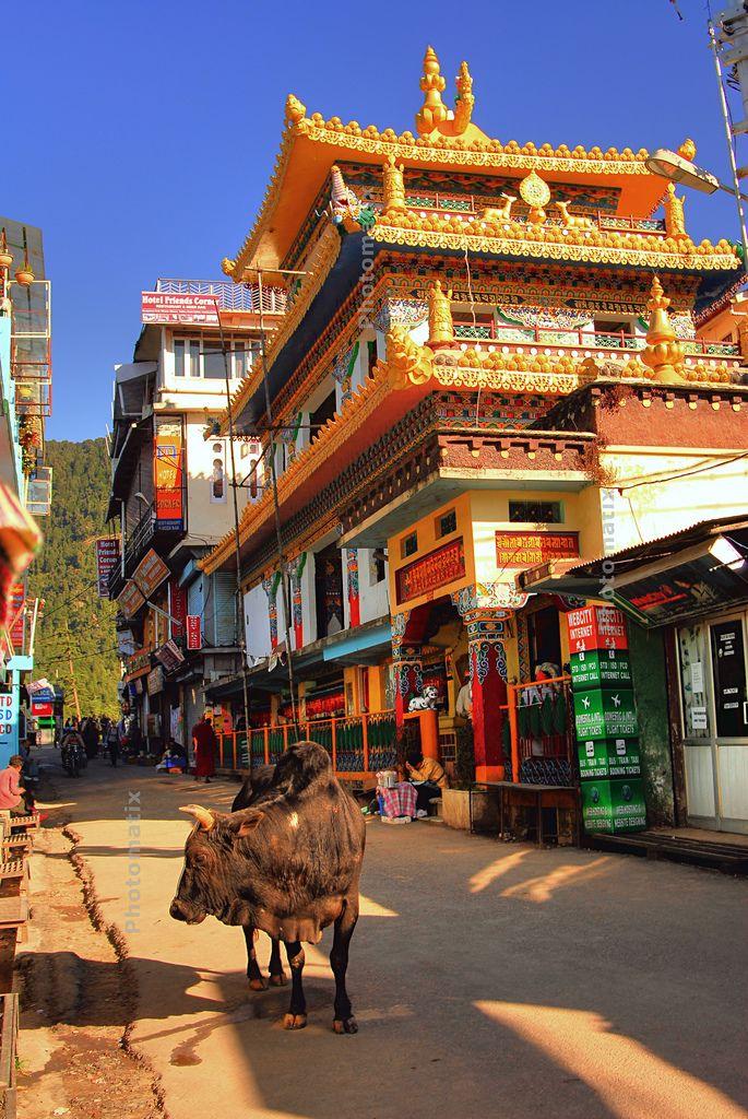 Holy Cow / mcleod ganj Dharamsala