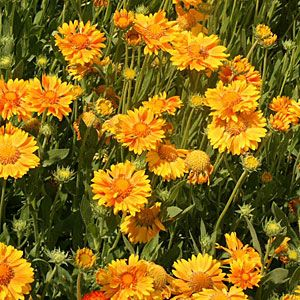 Maybe use these  instead of daisies for bright medium height flowers | Gaillardia x grandiflora