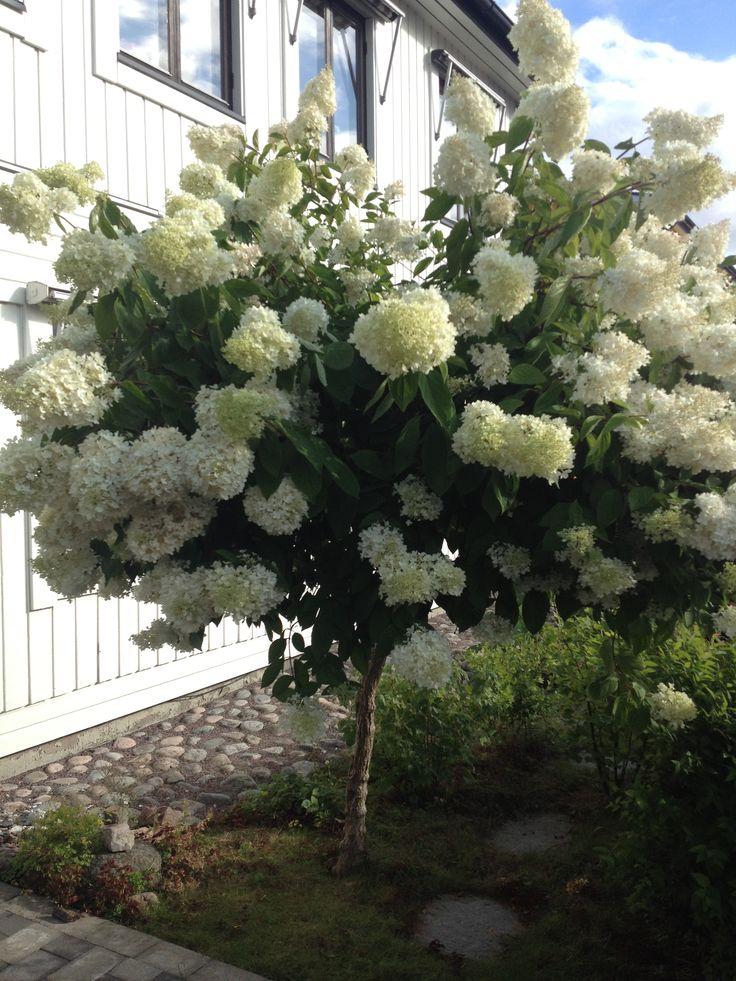 Vacker höstsyren (syen hortensia) som blommar i augusti