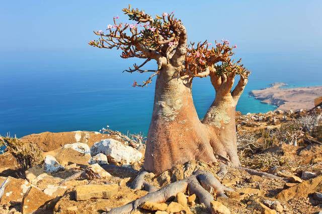 Socotra - Yemen, alberi bottiglia