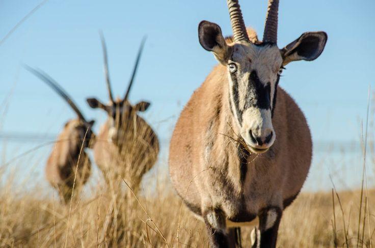 Rhino and Lion Park Gemsbok
