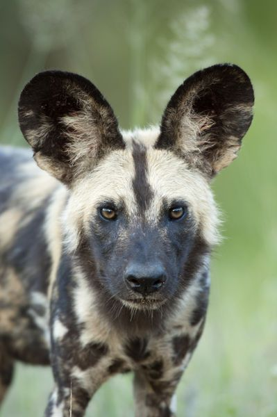 Africa | Wild or Painted dog. Kruger National Park, South Africa.