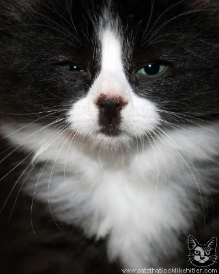 Cat Week: Cats That Look Like Hitler