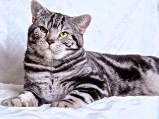 Szuszi Cat Kennel: Kiscicák