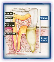 1. Healthy Tooth: Enamel is the hard outer crystal-like layer. Dentin is the softer layer beneath the enamel. The pulp chamber contains nerves and blood vessels. It is considered the living part of the tooth.