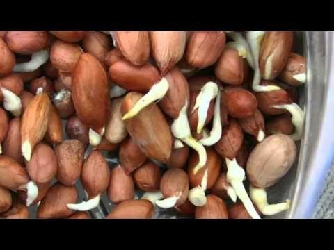 Посадка пророщенного арахиса.Часть-3 - YouTube