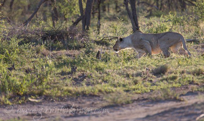 Jamala female Lion stalking some Zebra  Photo Credit: Gavin Tonkinson