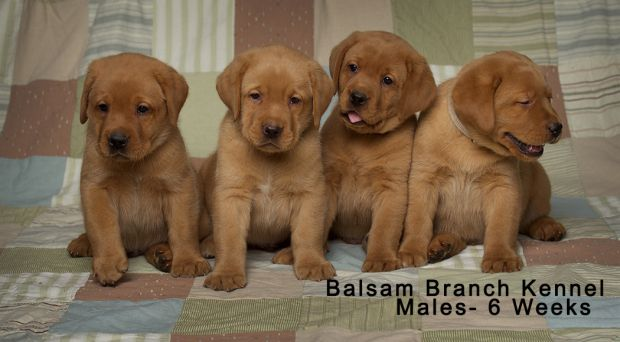 Fox Red Labrador Puppies | Six Weeks Old | Males | Puppies for Sale | Laughing Puppy | Silly Puppies | fox-red-lab-puppies-balsam-branch-kennel-trb-6wks-males-bbk
