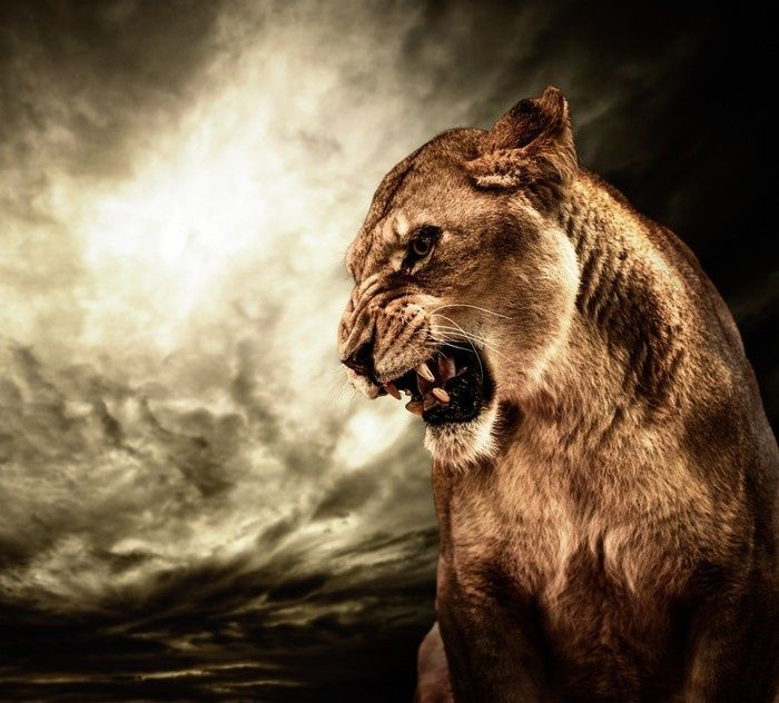Roaring lioness against stormy sky - Wall Mural