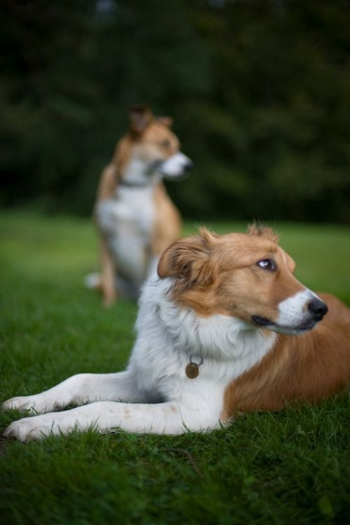 welsh sheepdog photo | Welsh Sheepdog / Ci Defaid Cymreig / Welsh ... | Animal Photography