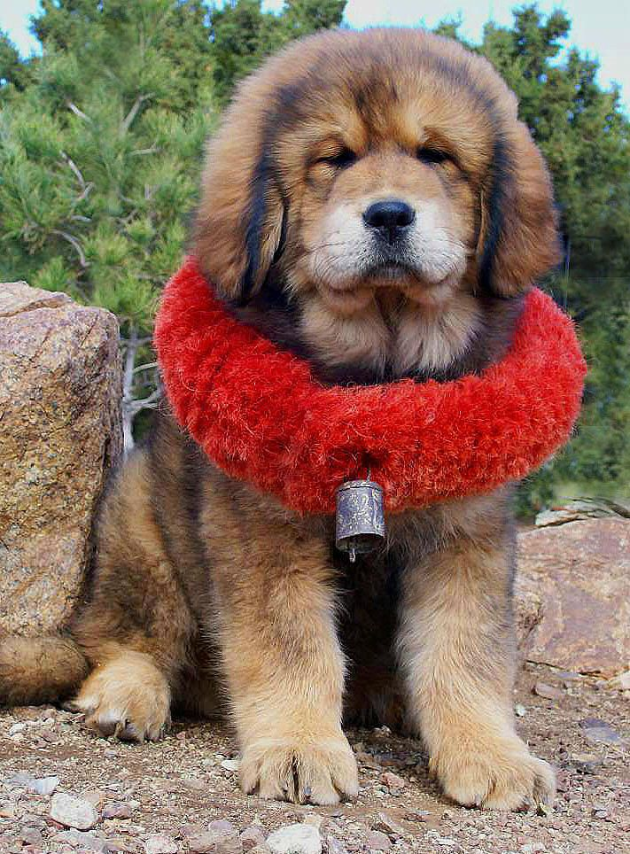 Tibetan Mastiff Puppy wearing traditional yak haired collar, that is called the Kekhor.