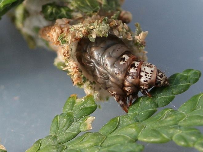 Гусеница мешочницы, поедающая хвою туи