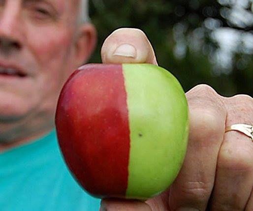 Random genetic mutation: half red golden delicious apple ...