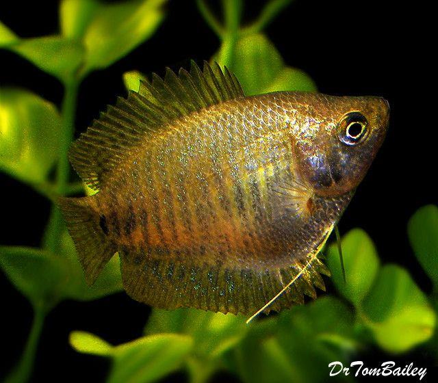 Premium Female Young Dwarf Gourami 1 5 To 2 Long Aquarium Fish Tropical Fish Guppy Fish