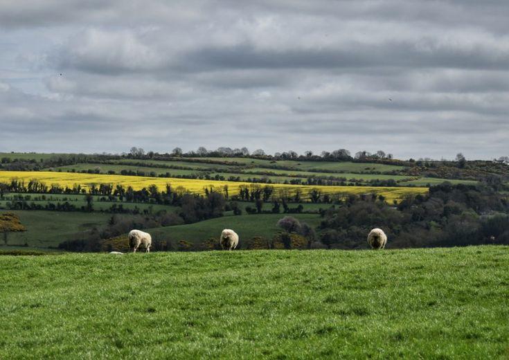 Pecore, erba verde e cieli d' Irlanda
