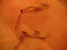 My Trout Fly: How to make grasshopper legs.