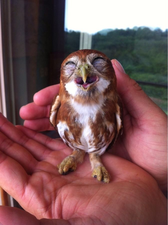 adorable little owl laughing                                                                                                                                                     More