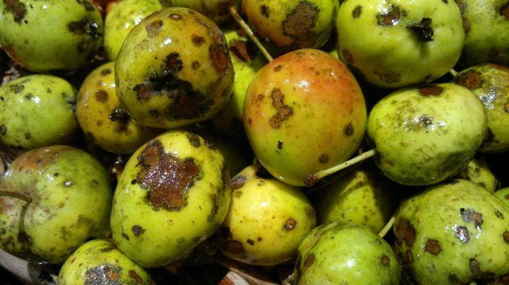 Опавшие молодые плоды яблони, пораженные паршой