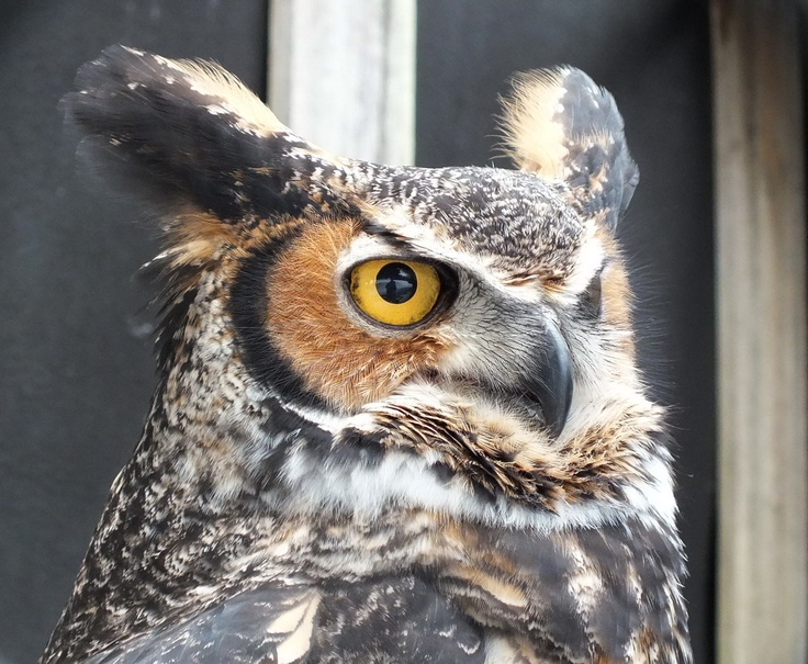 Great Horned Owl looks straight ahead at Mountsberg Raptor Centre