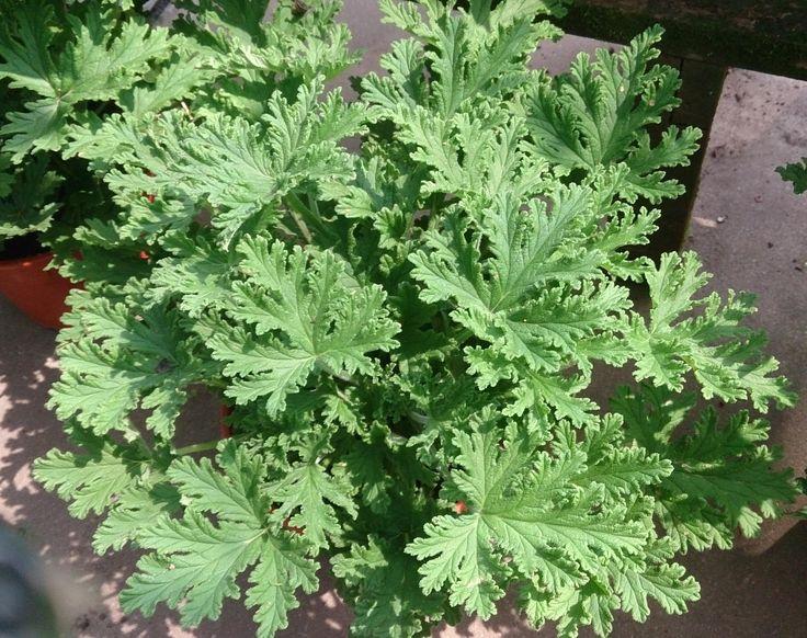 Las 25 mejores ideas sobre citronela planta en pinterest buenas ideas de patios traseros - Plantas ahuyenta mosquitos ...