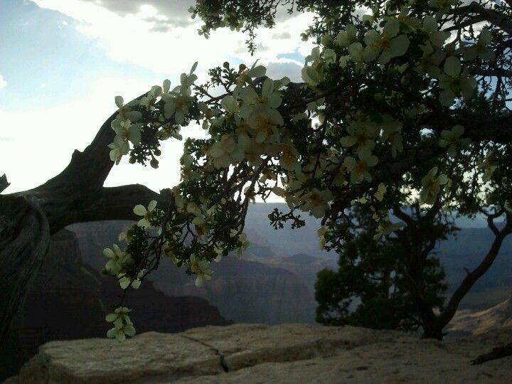 Grand Canyon flower! ©Nicole Kokken