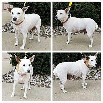 Garden City, MI - Cattle Dog/Jack Russell Terrier Mix. Meet Anise, a dog for adoption. http://www.adoptapet.com/pet/15246801-garden-city-michigan-cattle-dog-mix