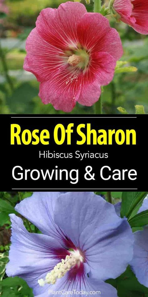Rose Of Sharon How To Grow And Care For Hibiscus Syriacus