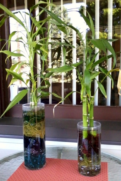 205 Best Images About Bamboo Plants Indoor On Pinterest 400 x 300