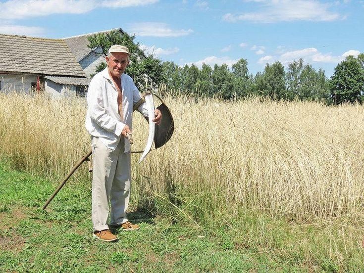 W Folwarku Białobrzeżki żniwa jak przed wiekami
