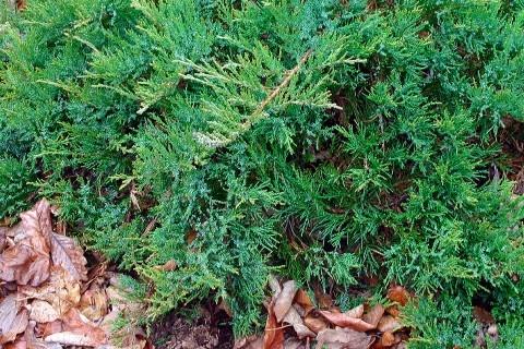 Juniperus sabina mature width