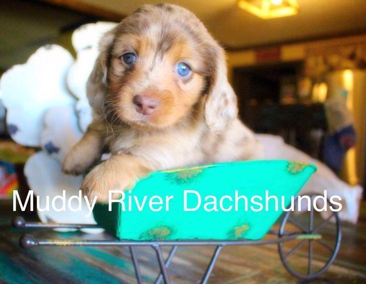 Dapple doxies dachshunds texas dachshund puppy miniature