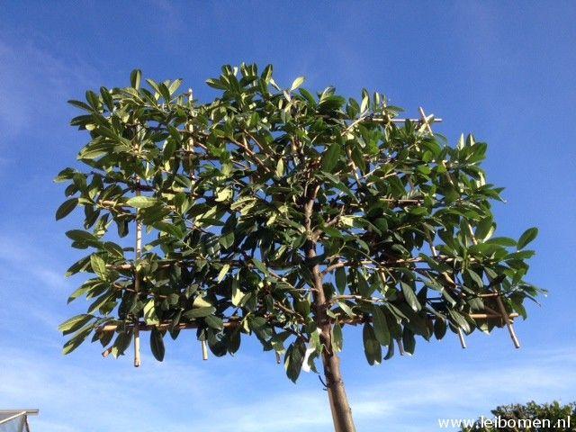 Bladhoudende leibomen. De laurier (prunus novita) is een mooie groenblijvende leiboom. Bovendien krijgt deze een fijne witte bloesem in het voorjaar.