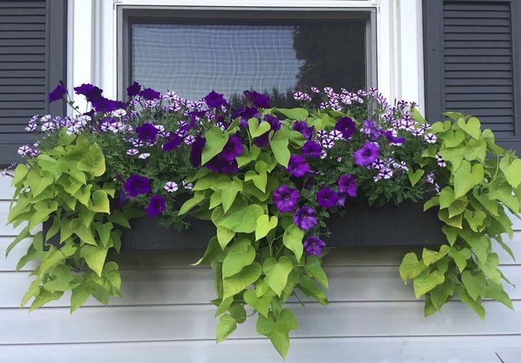 Purple Million Bells And Sweet Potato Vine Window Box In 2020 Potato Vine Planters Potato Vines Sweet Potato Vine