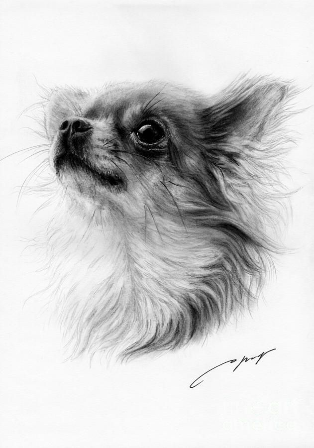 Chihuahua Drawing by Danguole Serstinskaja - Chihuahua Fine Art Prints and Posters for Sale