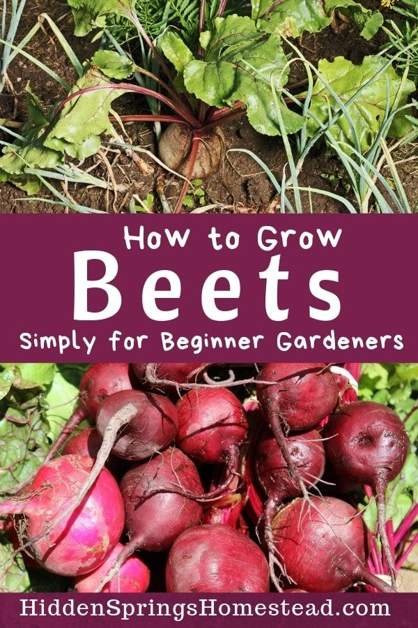 Tips For Growing Beets From Seed To Harvest How To Store And Care For Beets If You Are A New Ga In 2020 Growing Beets Organic Gardening Tips Organic Vegetable Garden