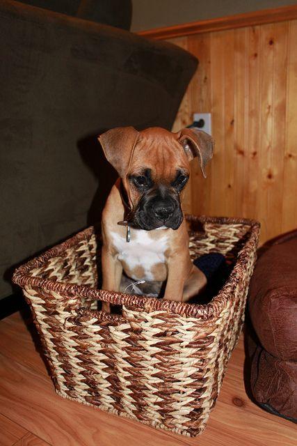 #Boxer So sweet!