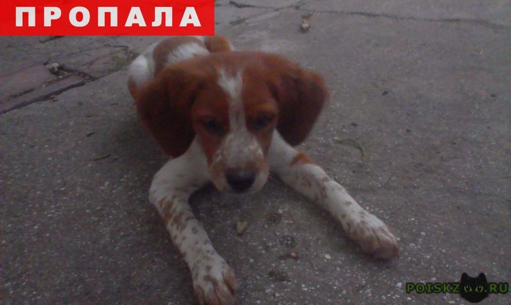 Пропала собака эпаньол бретон г.Симферополь http://poiskzoo.ru/board/read29920.html  POISKZOO.RU/29920 Эпаньоль бретон девочка .. месяца, окрас белый рыжие пятна, на животике клеймо.   РЕПОСТ! @POISKZOO2 #POISKZOO.RU #Пропала #собака #Пропала_собака #ПропалаСобака #Симферополь