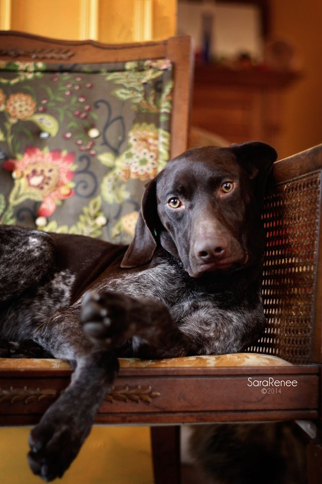 Meet Drake a Petfinder adoptable German Shorthaired Pointer Dog | Tewksbury, MA | Before contacting GSP Rescue NE please read our adoption process page which will answer most of...