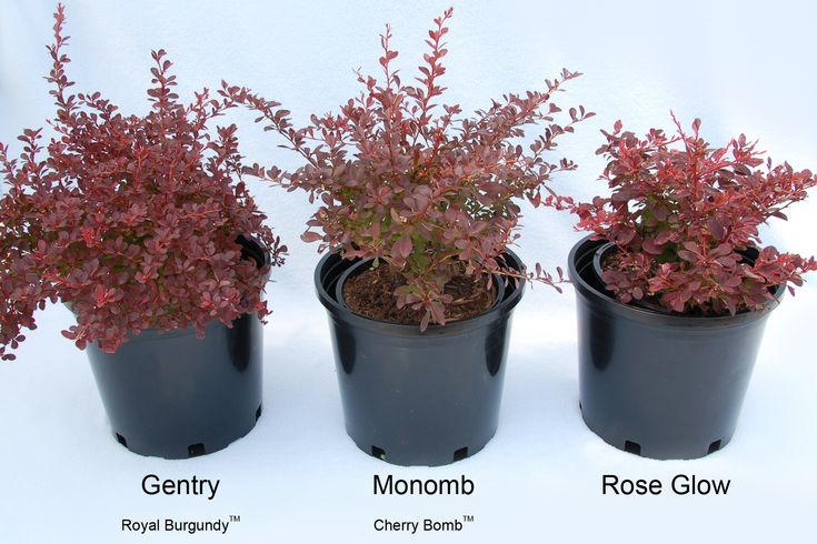 Barberry Shrubs These Varieties Do Not Have The Deep