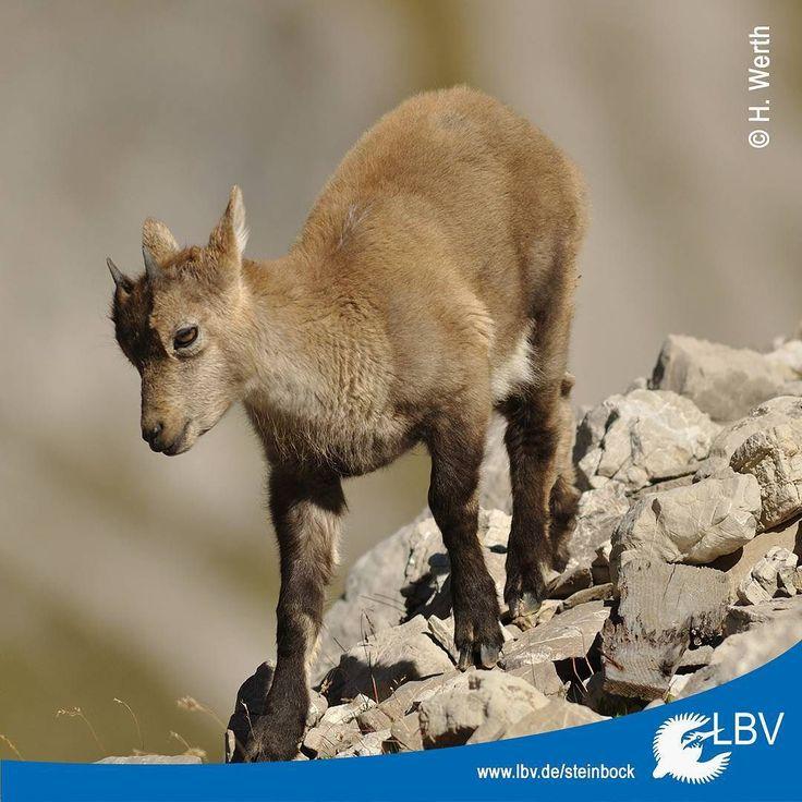 Wenn ihr bei den letzten warmen Sonnenstrahlen noch Wandern gehen solltet vergesst nicht uns #Steinböcke zu melden falls ihr welche seht :-) Ansonsten wünschen wir euch ein schönes #Wochenende!  #ibex #steinbock #wandern #weekend #tgif #hochdiehändewochenende #hiking #natur #nature #naturschutz #natureconservation #naturelovers #alpensteinbock #alpen #alps #bayern #bavaria