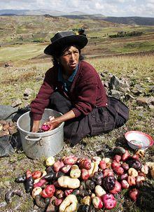 Peru: Llamas and mash -   The Economist
