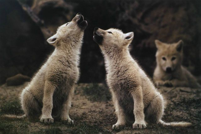 White wolfs howling on the Ellesmere Island, by Jim Brandenburg