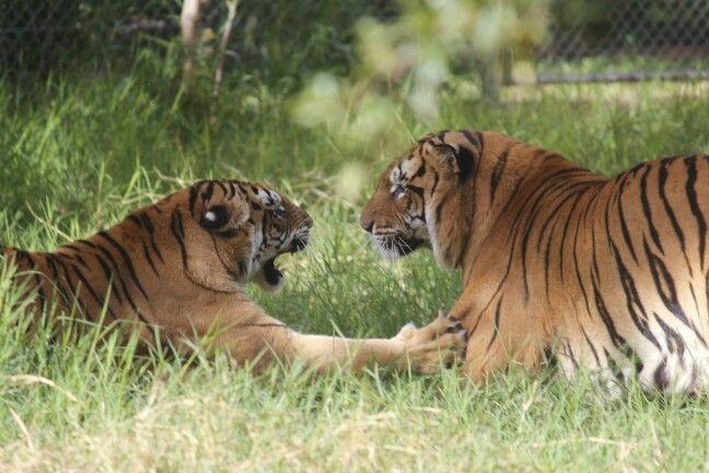 Tigres Zoo Asunción Paraguay