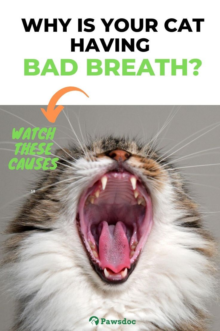My Cat Has Bad Breath I Common Causes And Remedies In 2020 Cat Bad Breath Cat Health Cat Remedies