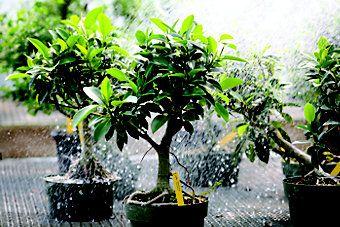 Bonsai Gardening — Winter 2009 | Out Here Magazine