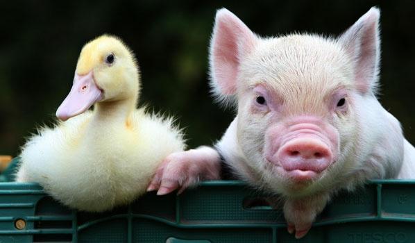 Pig And A Duck Friend Piggies Animals Barnyard
