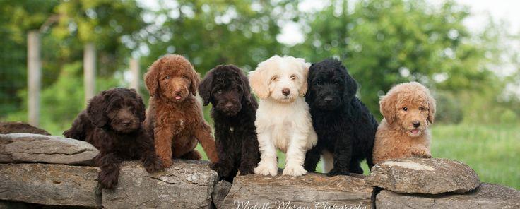 Labradoodle puppies for sale. Labradoodle breeders. Deer Creek Labradoodles breeder of American and Australian Labradoodle puppies. Trained Labradoodles