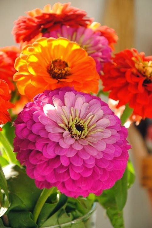 Colourful zinnias